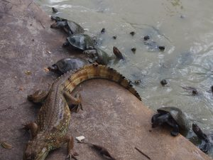 Caimans and turtles living together