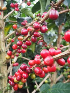 Did you know the coffee fruit tastes really sweet?