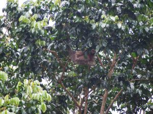High up in the tree - mama sloth and baby sloth